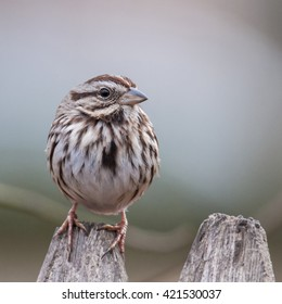 A song sparrow perched on a stockade fence.