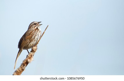 Song Sparrow singing to its mate on cattail vegetation in wetland habitat with blue sky background