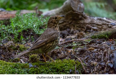 Song thrush bird