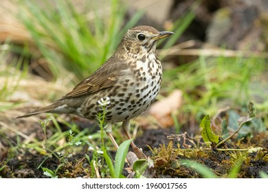 song thrush in the forest in springtime