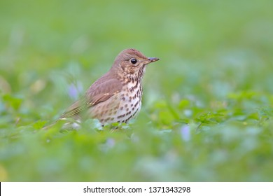 Song thrush in green grass. Turdus philomelos