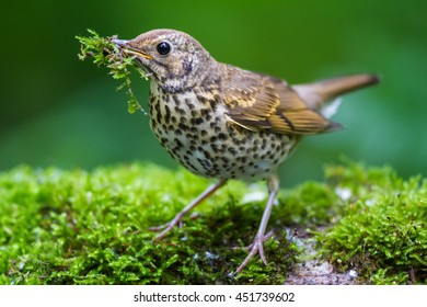 The Song Thrush and Moss