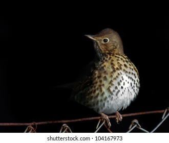 Song Thrush sitting on fence. (Turdus philomelos)