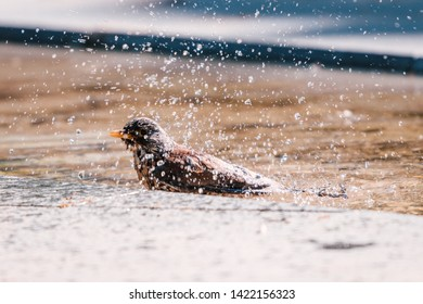 Song thrush splashing water drops around,  taking a bath