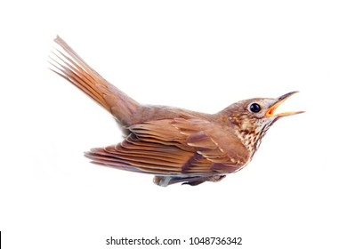 Song thrush is in state of anxiety, singing thrush, screaming thrush. Bird isolated on white background, side view.