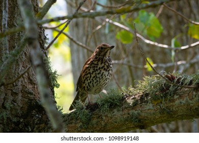 A Song Thrush - Turdus ericetorem - in a poplar tree in woodland in the Scottish Highlands in Sutherland Scotland UK