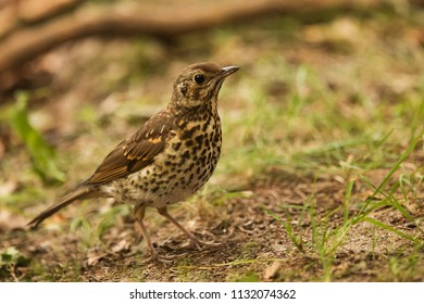 song thrush (Turdus philomelos) in detail