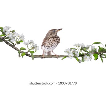 Song Thrush (Turdus philomelos) on a pear tree in spring isolated on a white background