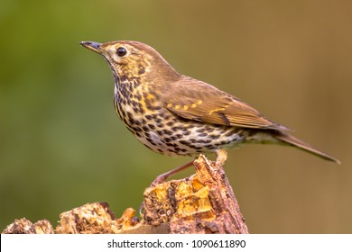 Song Thrush (Turdus philomelos) perched on log with green garden background