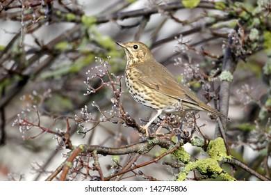 Song thrush, Turdus philomelos, single bird on rowan berries,  West Midlands, December 2010