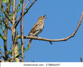 Song thrush, Turdus philomelos, single bird singing on branch, Warwickshire, May 2020