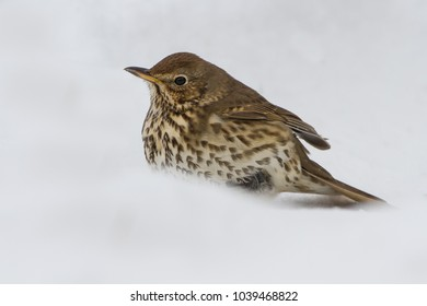 Song Thrush (Turdus philomelos) in snowy conditions in the UK