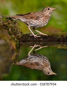 Song Thrush (Turdus philomelos) in a waterhole in the forest