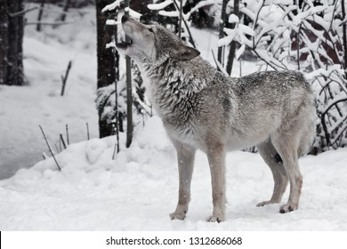 Song of the wolf. A wolf (female wolf) howls (howling, screaming) lifting its muzzle upwards and opening its mouth in a winter snow-covered forest, a beautiful and wild predatory animal.