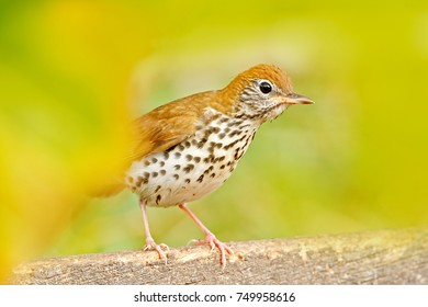 Song wood thrush, Hylocichla mustelina, in the nature habitat. Young bird sitting on tree branch. Bird in the summer Belize.