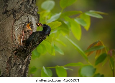 Songbird, Common Starling, Sturnus vulgaris, next to nest hole feeding begging chicks  with opened beak against spring forest in background. Europe.