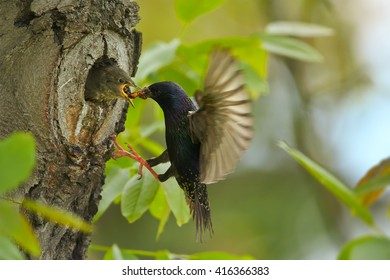 Songbird, Common Starling, Sturnus vulgaris, flying to the nest hole to feed begging chicks  with opened beak against spring forest in background. Europe.