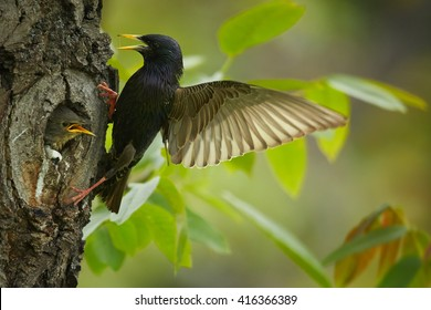 Songbird, Common Starling, Sturnus vulgaris, next to nest hole with  chicks looking out the nest, with outstretched wings and opened bill against spring forest in background. Europe.