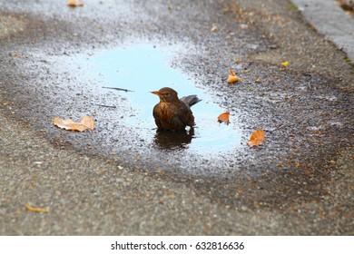 Songbird swim