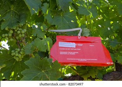SONOMA, CA, USA - AUGUST 1: European Grapevine Moth (Lobesia botrana) traps  set by the Sonoma County Agricultural Commissioner to track the destructive pest August 1, 2011 in the Sonoma Valley CA.