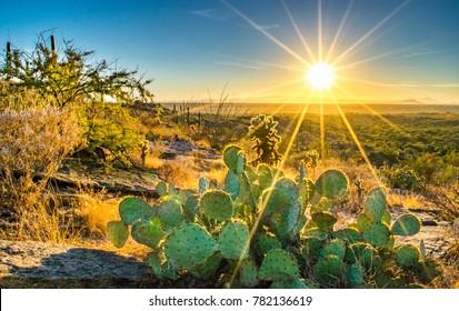 Sonora Desert Cactus on Hill at Sunset - Arizona, USA
