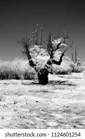 The Sonora desert in central Arizona USA in monochrome infrared