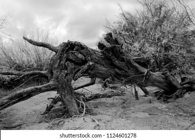 Sonora desert Dead tree in dry wash in Infrared central Arizona USA
