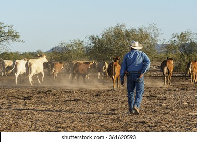 Sonora, Mexico. June 11th, 2015- Cowboy overlooks free range cattle