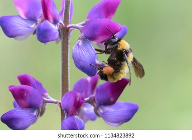Sonoran bumblebee collecting pollen from lupine flower