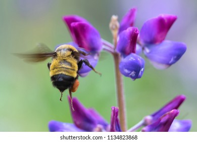 Sonoran bumblebee flying to lupine flower