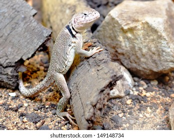 Sonoran collared lizard leaning against the bark among stones