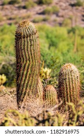 Sonoran desert cactus that looks like a painful prickly penis.