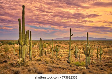 Sonoran Desert at sunset.