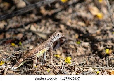 Sonoran desert wildlife, a cute zebra tail lizard, hunting for insects in the brown leaf litter, with yellow flowers. Photograph taken in Pima county, Tucson, Arizona. North America, USA 2018.