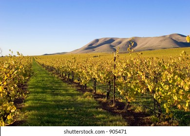 Soon after the harvest of grapes and the season cools, the grape vines change to the yellows and golds of autumn.