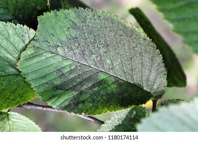 Sooty mold on green leaf of Ulmus glabra or Wych elm