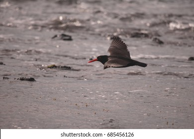 A Sooty Oystercatcher in flight over the sea.