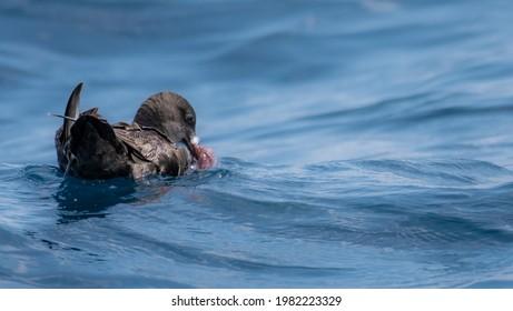 Sooty Shearwater feeding on a Octopus
