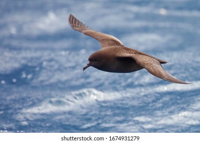 Sooty shearwater in flight off the coast of New Zealand