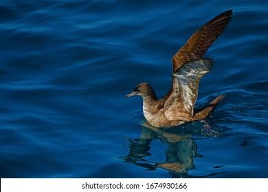 Sooty shearwater in New Zealand waters