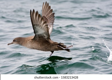 Sooty Shearwater (Puffinus griseus) taking off from the ocean surface off Monterey, California, USA.