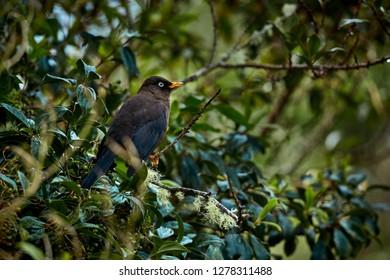 Sooty thrush (Turdus nigrescens) Beautiful endemic bird from Costa Rica and western Panama. Wild animal in the nature habitat.