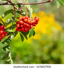 Sorbus aucuparia, commonly called rowan  and mountain-ash, is a species of deciduous tree or shrub in the rose family