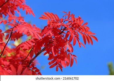 Sorbus aucuparia. Red leaves of a mountain ash against the blue sky