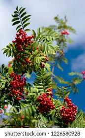 Sorbus' red friuts