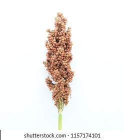 Sorghum bicolor isolated on white background