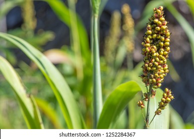 Sorghum bicolor (Negro Guinea Grass, Millet Grass, Sorghum) ; A density small fruits at tip. The seeds emerging from the shell, smooth, rounded hard, light green and turn to brownish when mature.
