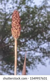 Sorghum bicolor plant growing in open field, Uganda, Africa