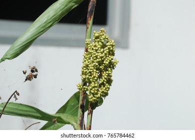 Sorghum bicolor Single or clover plant Root is a rootstock, dry or juicy, fresh or juicy. The stem is sponge-like. The leaves are covered with a short, round blade of flowers, round, or round.