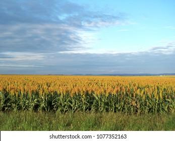 Sorghum crop in field, farmland at Sandy Camp, Queensland Australia